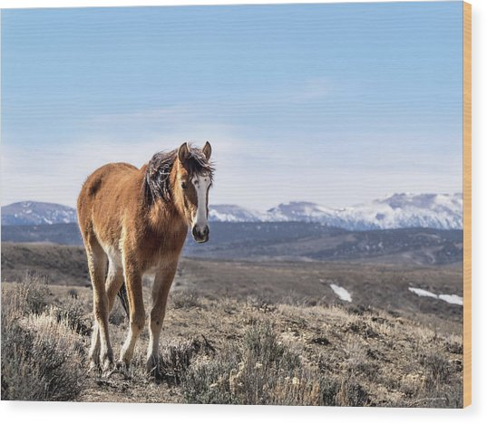 Wild Mustang Filly Of Sand Wash Basin Wood Print