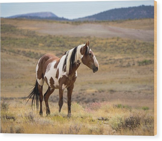 Wild Mustang Stallion Picasso Of Sand Wash Basin Wood Print