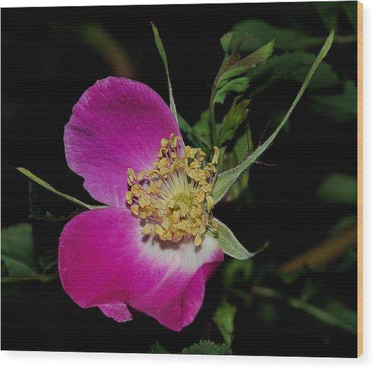 Wild Rose Wood Print by Marilynne Bull