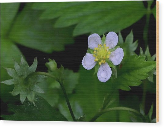 Wild Strawberry Blossom And Raindriops Wood Print