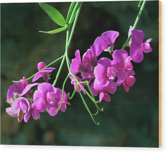 Wild Sweet Peas Wood Print