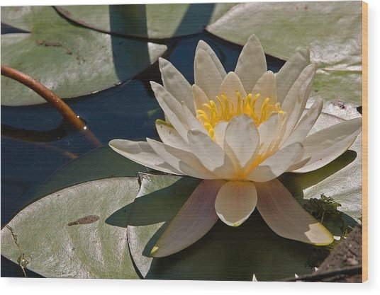 Wild Water Lilies Wood Print by Louis Dallara
