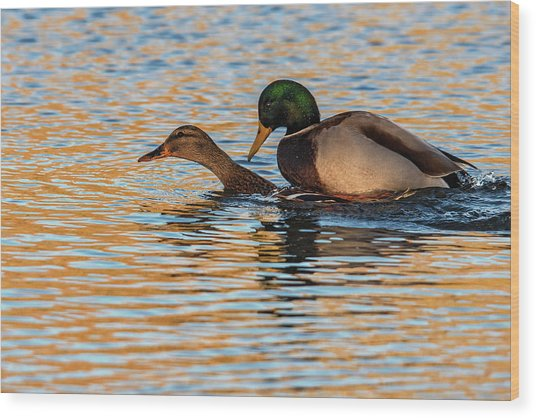 Wildlife Love Ducks  Wood Print
