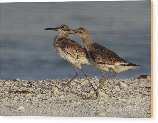 Willet Fight Wood Print