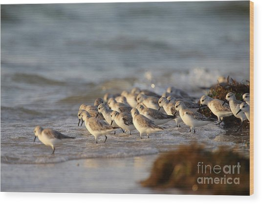 Willets On The Shore. Wood Print by Rick Mann
