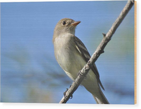 Willow Flycatcher 3 Wood Print