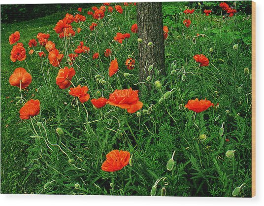 Windblown Poppies Wood Print by Roger Soule