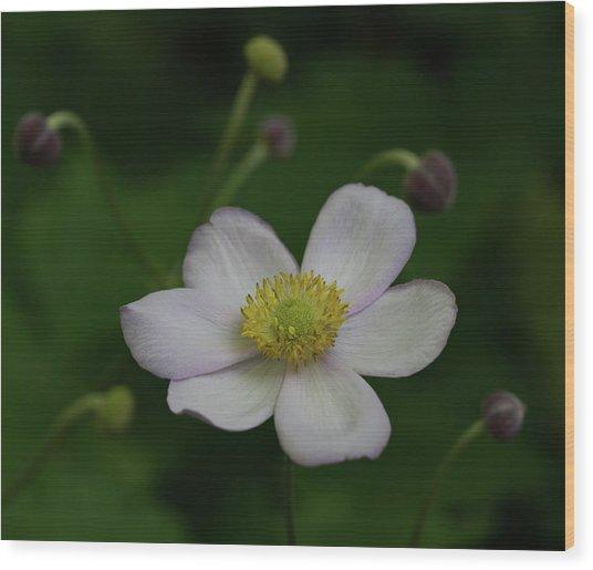 Windflower 1 Wood Print by Denise McKay