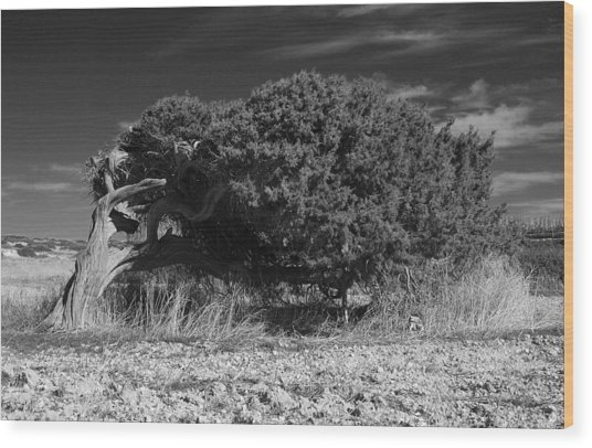 Windswept Olive Tree Wood Print by Donald Buchanan