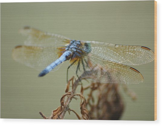Winged Beauty Wood Print