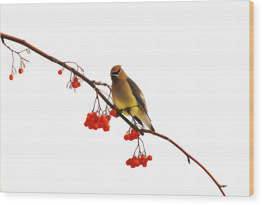 Winter Birds - Waxwing  Wood Print