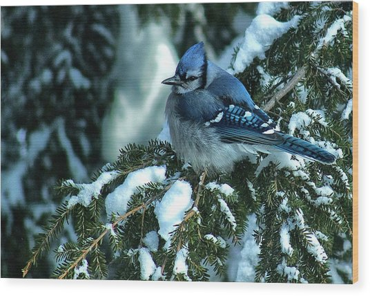 Winter Blue Jay Wood Print by Andrew Oliver