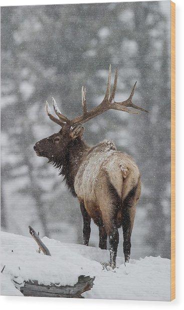 Winter Bull Elk Wood Print