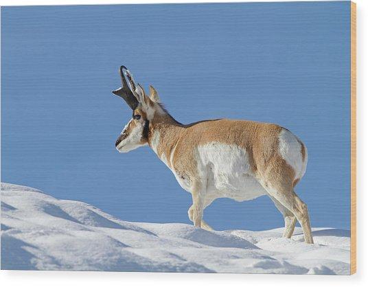 Winter Pronghorn Buck Wood Print
