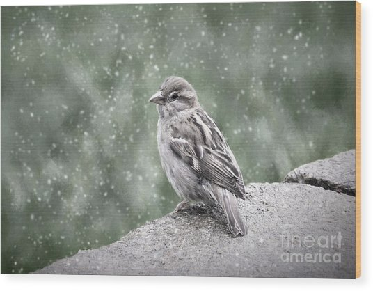 Winter Sparrow Wood Print