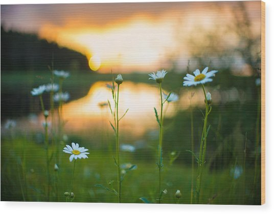 Wisconsin Daisies At Sunset Wood Print