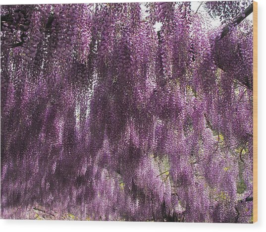 Wisteria Arbor At The Bardini Gardens Wood Print