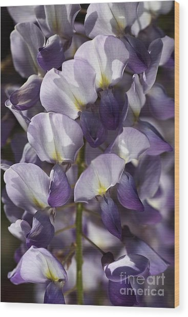 Wisteria In Spring Wood Print