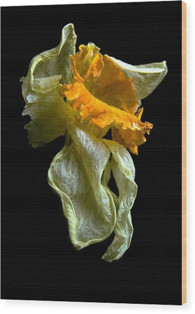 Withering Daffodil Wood Print