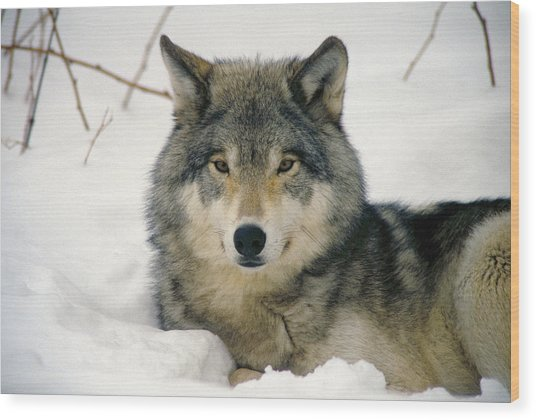 Wolf Rests In Snow Wood Print