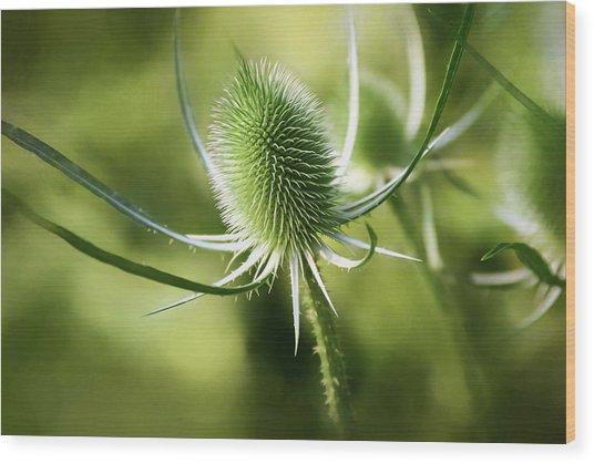 Wonderful Teasel 2 - Wood Print