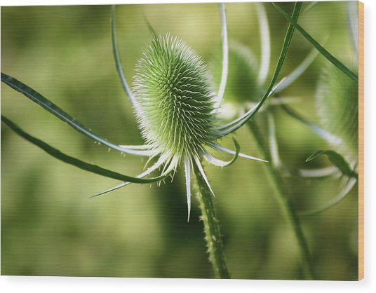 Wonderful Teasel - Wood Print
