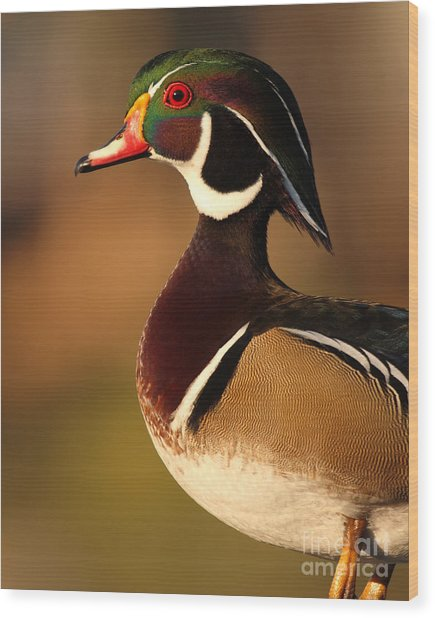 Wood Duck Drake Looking Into The Distance Wood Print