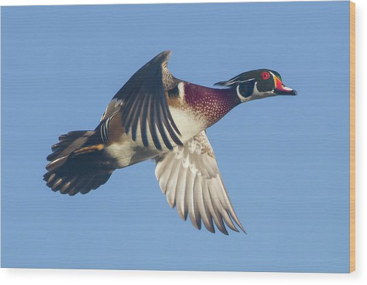 Wood Duck Flying Fast Wood Print
