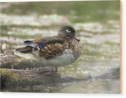 Wood Duck Hen Wood Print
