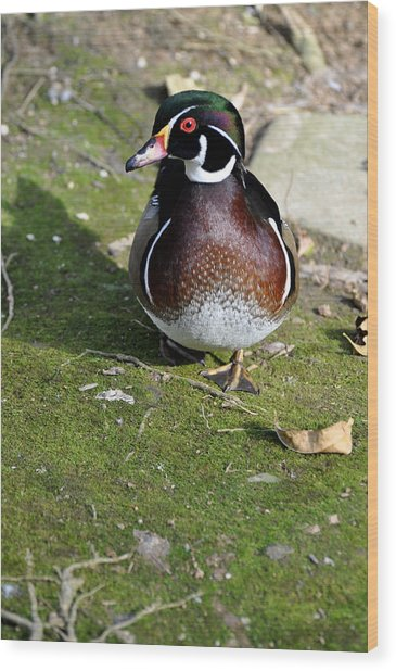 Wood Duck On Moss Wood Print by Jan Amiss Photography