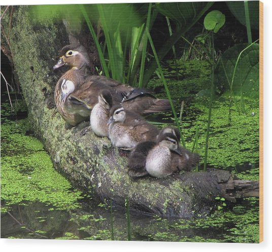 Wood Ducks On A Log Wood Print