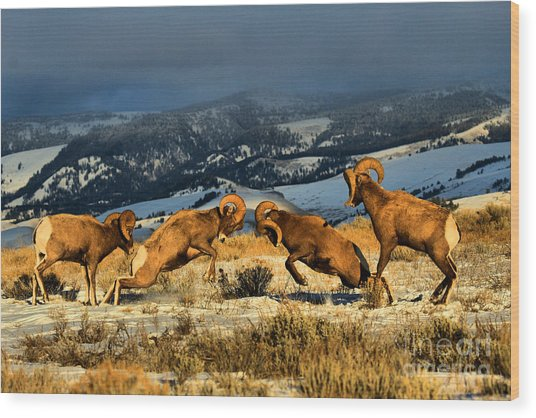Wyoming Bighorn Brawl Wood Print