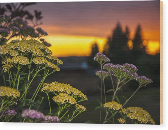Yarrow At Sunset Wood Print