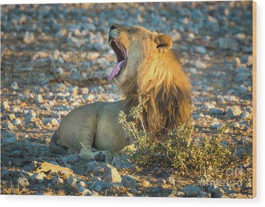 Yawning Lion Wood Print