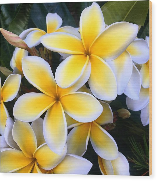 Yellow And White Plumeria Wood Print