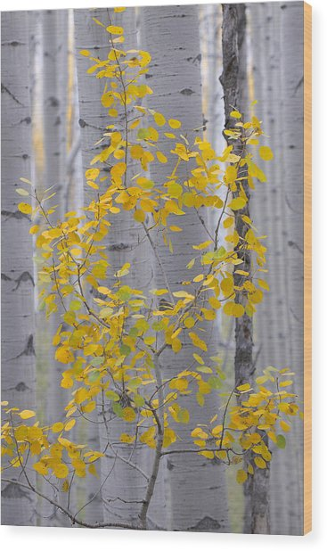 Yellow Aspen Tree Wood Print