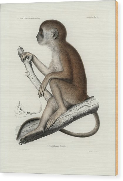 Yellow Baboon, Papio Cynocephalus Wood Print