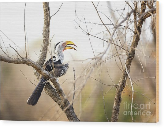 Yellow-billed Hornbill Sitting In A Tree.  Wood Print