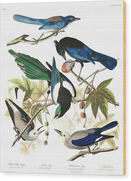 Yellow Billed Magpie Wood Print