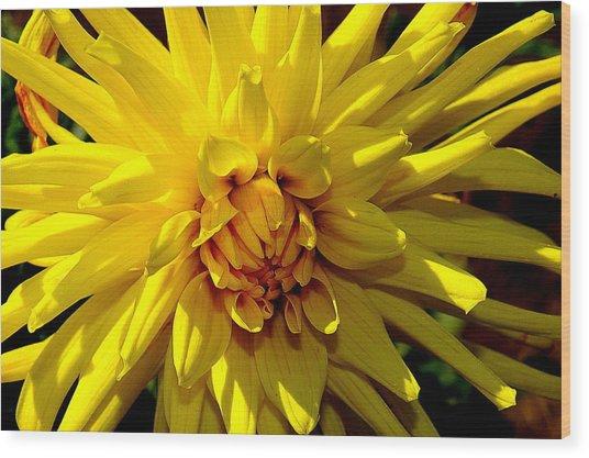 Yellow Daliha Wood Print by Patrick  Short
