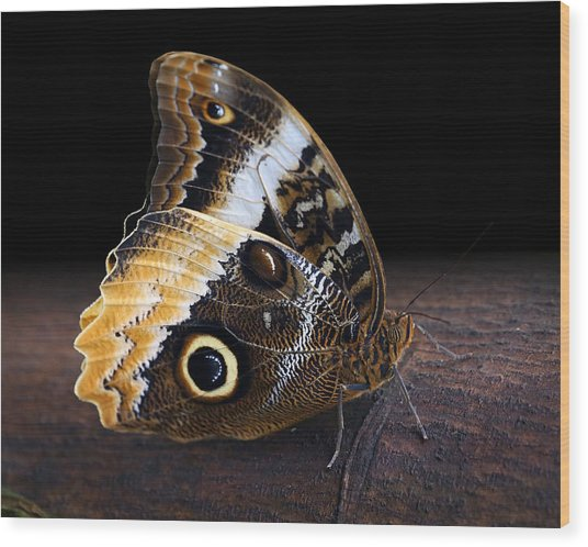 Yellow-edged Giant Owl Butterfly Wood Print