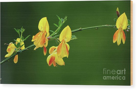 Yellow Fever Wood Print