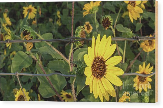 Yellow Flower Escaping From A Barb Wire Fence Wood Print