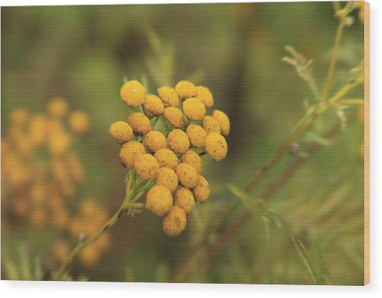 Yellow Garden Tansey Wood Print