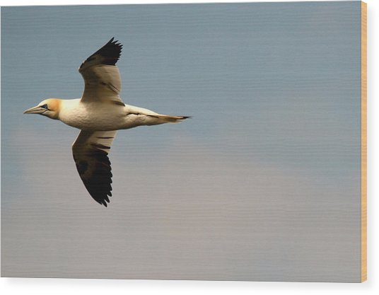 Yellow Headed Gull In Flight Wood Print