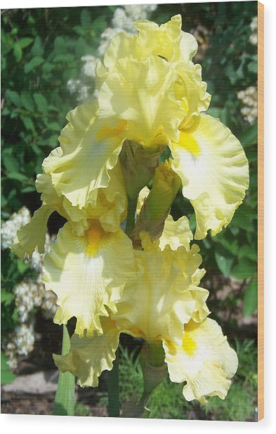 Yellow Iris At Fellows Riverside Garden Wood Print by Lois Mountz