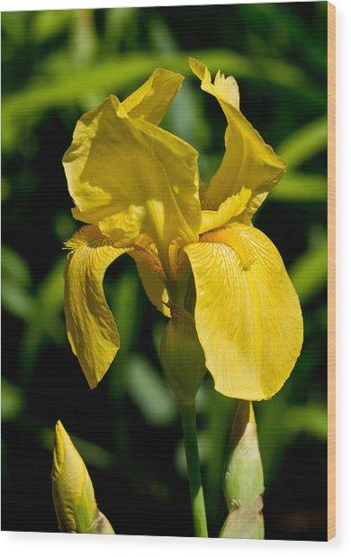 Yellow Iris Wood Print by Edward Myers