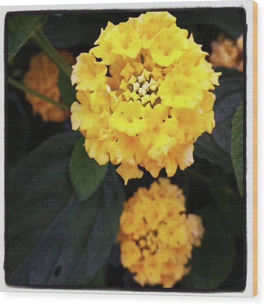Wood Print featuring the photograph Yellow Lantanas Along The Scenic Drive by Mr Photojimsf