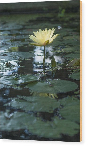Yellow Lilly Tranquility Wood Print