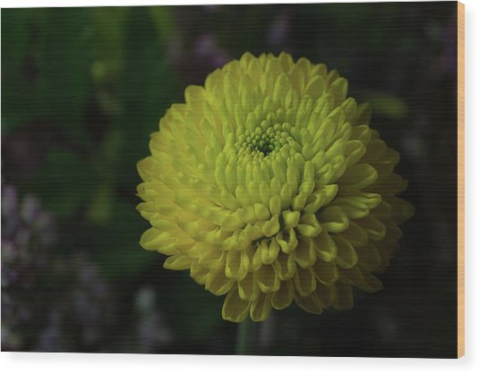 Yellow Mum Wood Print by Denise McKay